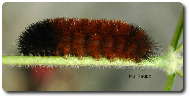 Oh wooly bear, please tell me this winter will be mild.