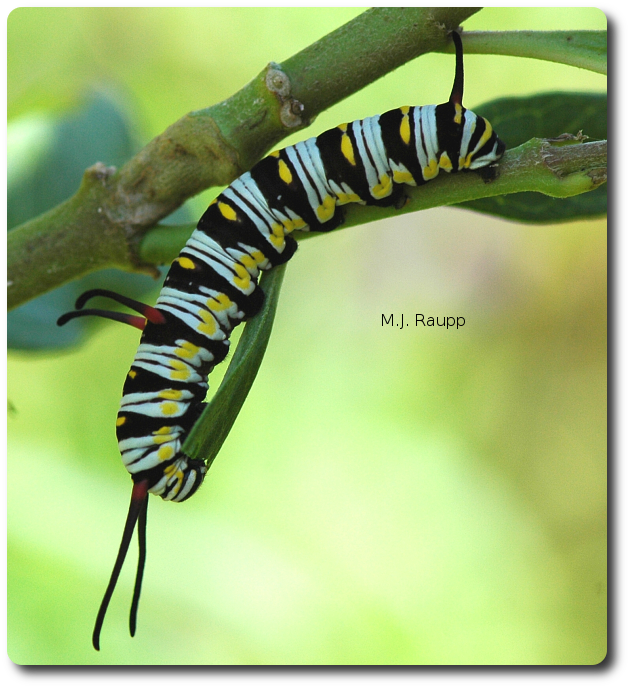The gorgeous Queen caterpillar eats milkweeds and other toxic plants.