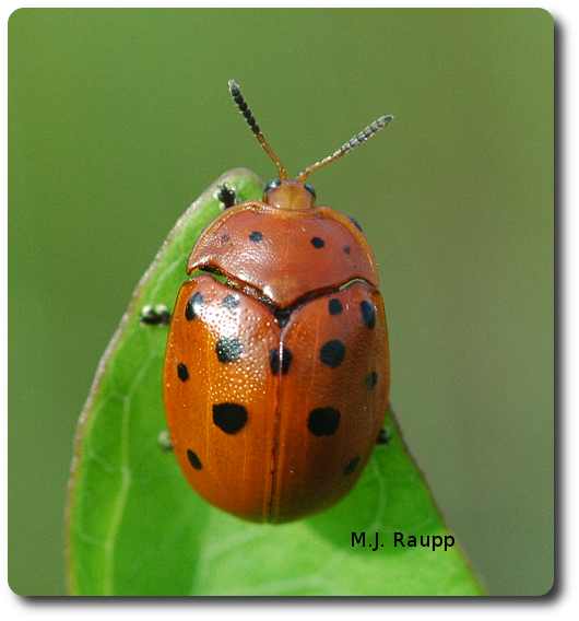 Perched on a leaf of morning glory, the Argus tortoise beetle takes a break between bites of its chemically-laced food.