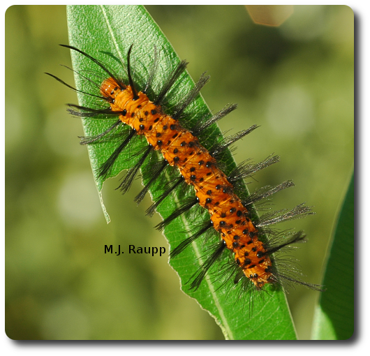 The oleander caterpillar looks a bit like an orange version of Cousin It from the Adams family.