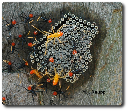 Wheel bug nymphs chill out near their egg mass before creeping away in search of tasty victims.