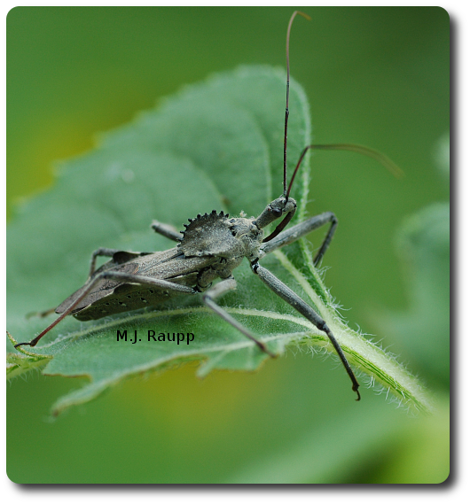 A stout beak impales the wheel bug's victim and sucks its blood and body fluids. How gruesome!