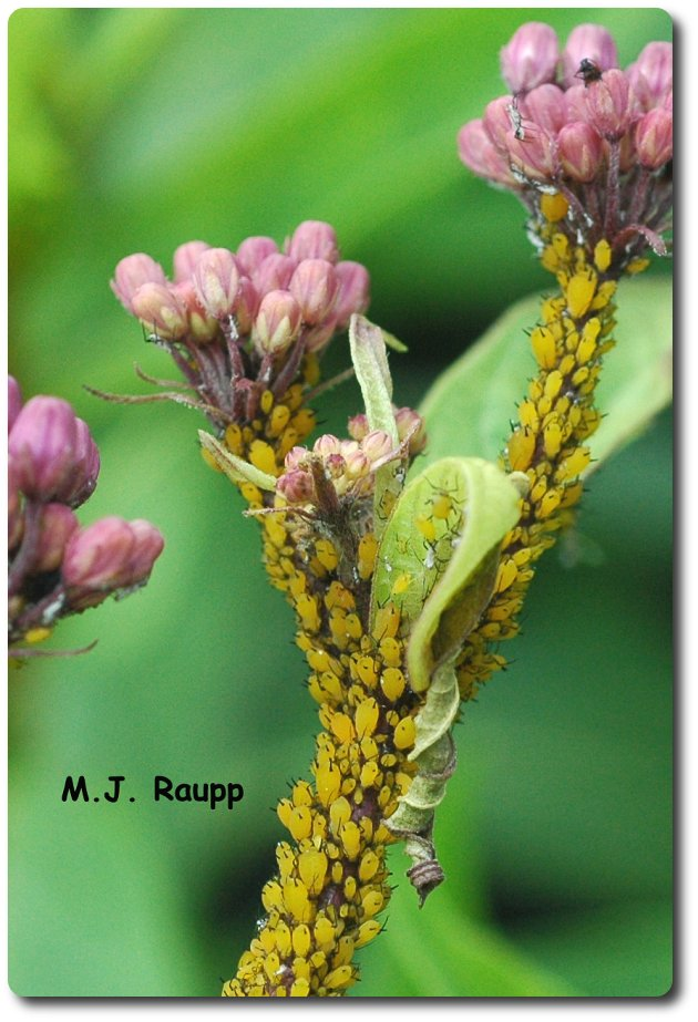 In a society where everyone is or will soon be a momma, populations of oleander aphids explode.