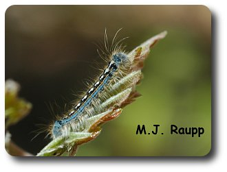Forest tent caterpillars are easily distinguished from gypsy moth caterpillars by their blue and white markings.
