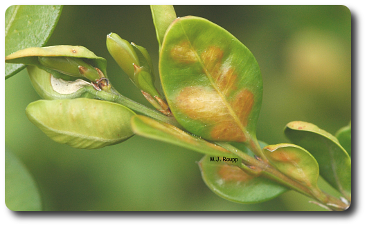 Discolored, blistered leaves are sign of the boxwood leafminer.