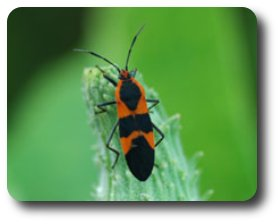 Milkweed bugs gain protection from toxic chemicals found in the milkweed plant.