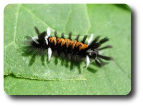 Milkweed tussock moth caterpillars are another orange and black denizen of the milkweed plant.