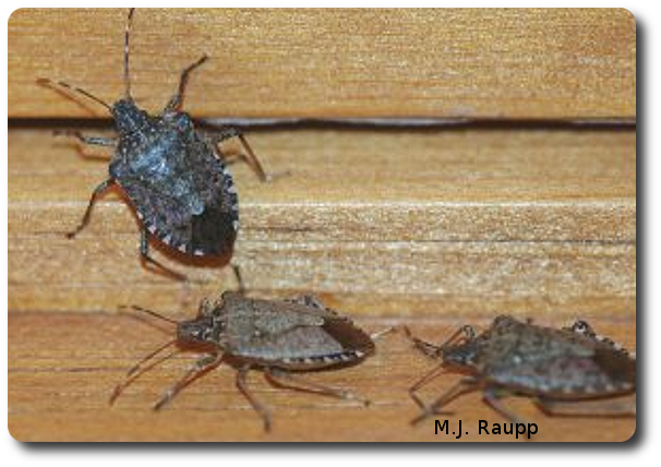 Brown marmorated stink bugs often aggregate in large numbers on windowsills.