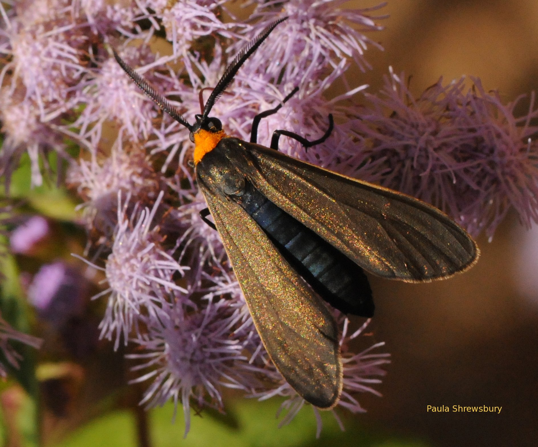 The beautiful yellow-collared scape moth is a bold day time flier. Photo: Paula Shrewsbury
