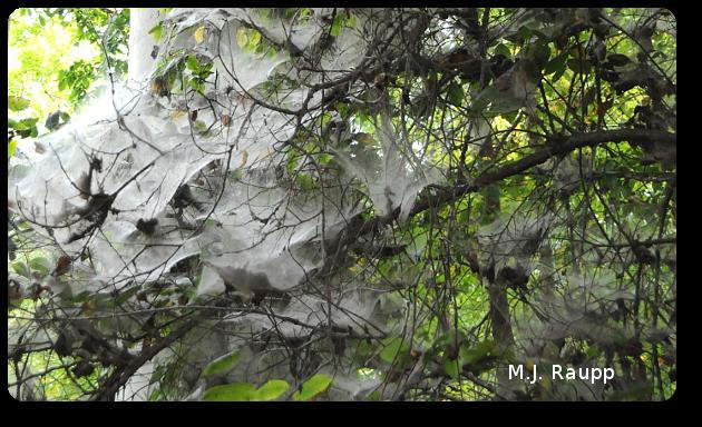 Webs of social spiders cloak a spooky tree.