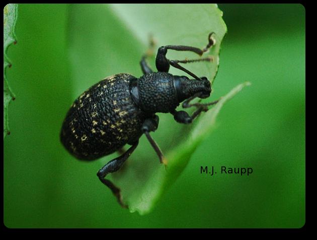 Black vine weevils enjoy tender leaves.