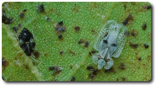 Dozens of eggs, nymphs, and adult lace bugs can be seen on the undersides of infested leaves of sycamore.