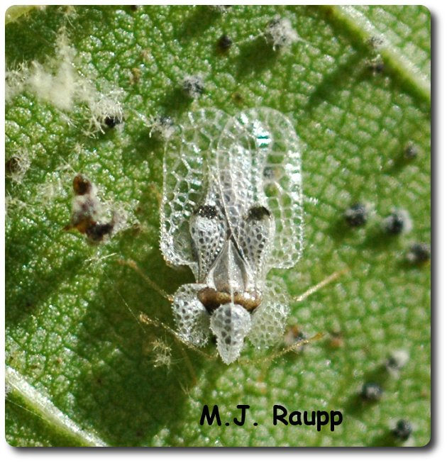 Lace Bugs use their delicate, lacey wings like shields to defeat attacks by predators.