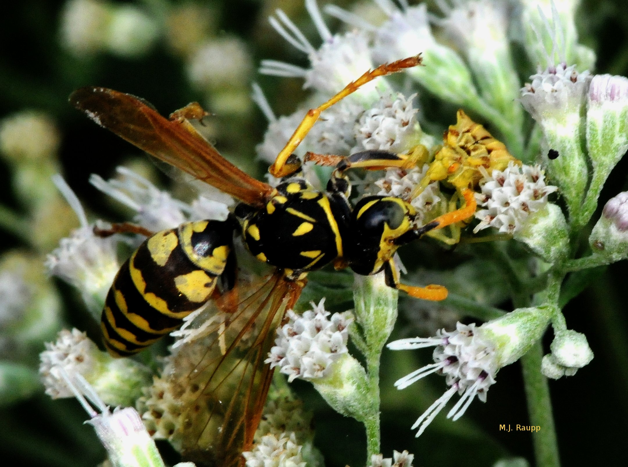 Look closely and you will see the ambush bug's beak inserted beneath the wasp's mouthparts.