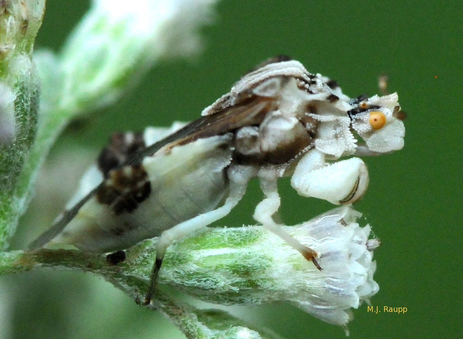 White and brown match the colors of boneset.