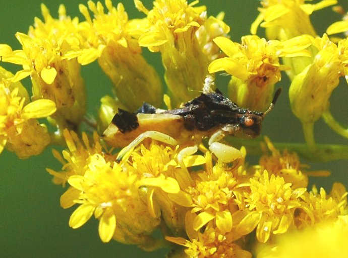 Yellow, green, and brown work well on goldenrod.