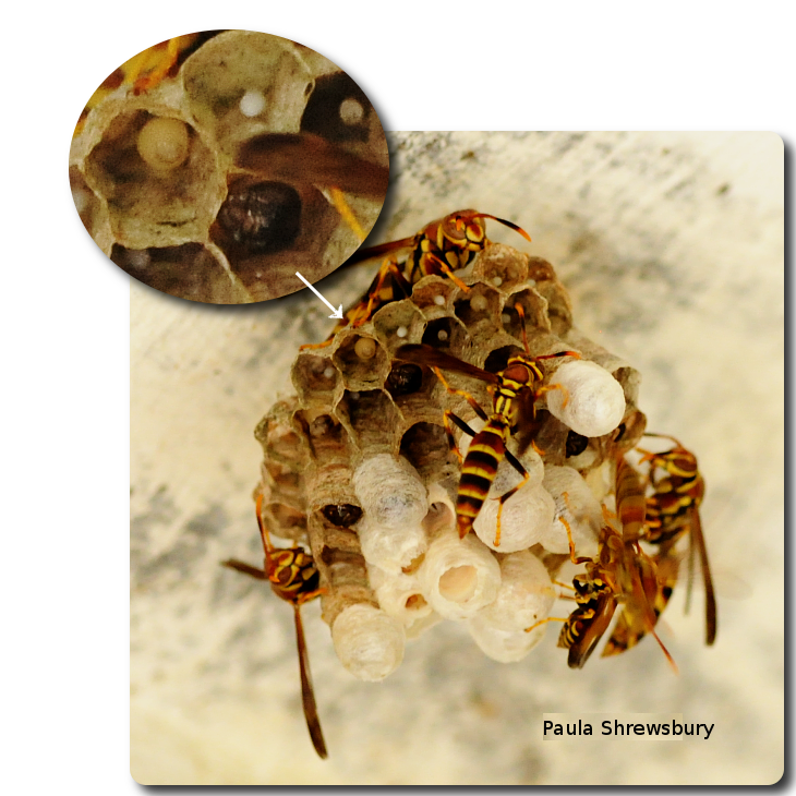 Workers tend the nest while eggs and larvae develop inside cells. Photo: Paula Shrewsbury