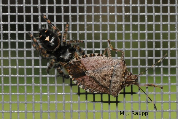 Jumping spiders can be a pain in the rear-end for stink bugs.