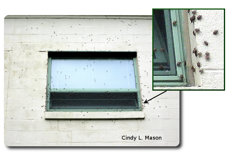 Brown marmorated stink bugs often aggregate in large numbers on sunny sides of buildings.