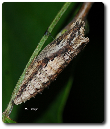 Predators might overlook a tasty pupa inside a chrysalis disguised as a withered leaf or twig.