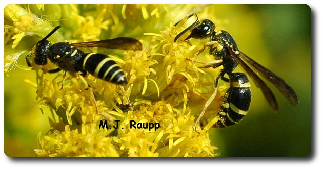 Black and yellow bands on this wasp warn birds and other predators to stand down.