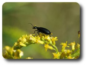 The black blister beetle produces potent irritants called cantharidins.