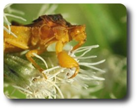 Powerful forelegs enable the ambush bug to capture its prey.