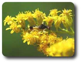 Beautifully camouflaged, this ragged ambush bug awaits a victim.