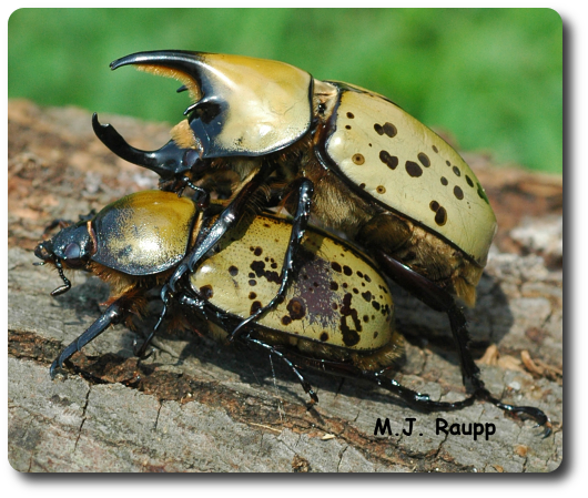 This pair of unicorn beetles doesn't mind a public display of affection.