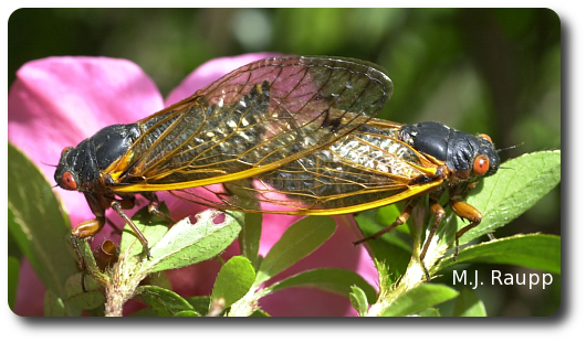 Seventeen years underground might make you as shy as these periodical cicadas appear to be.