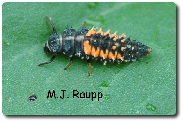 Lady beetle larvae look like small alligators and are very active as they hunt prey.