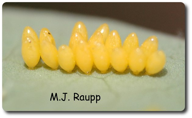 Small, lemon-yellow eggs on leaves are stems are likely to be eggs of ladybugs.