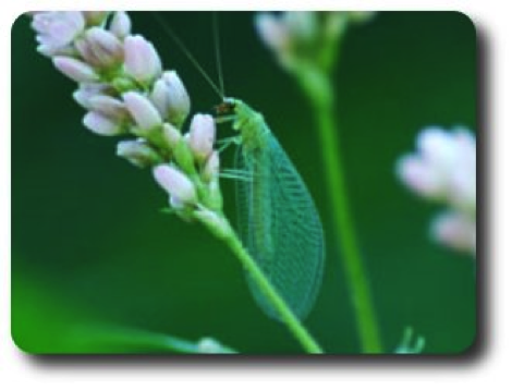 An adult lacewing