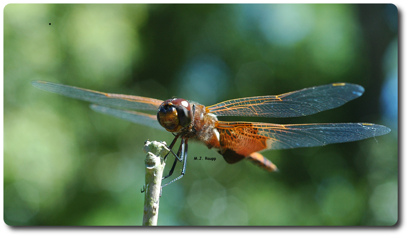 This dragonfly possesses powerful legs and strong wings