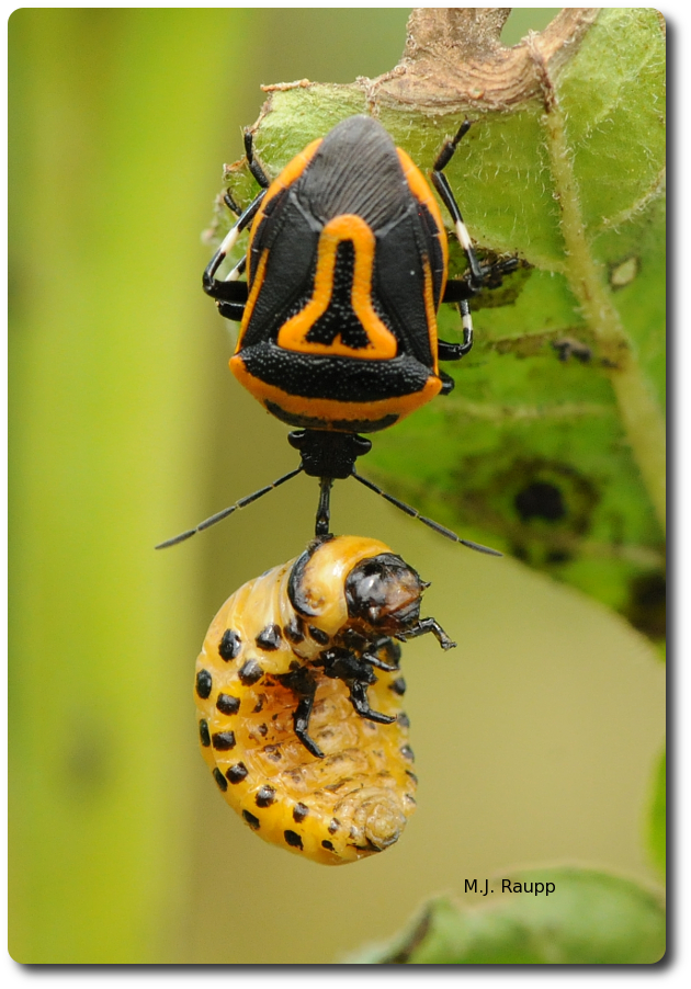 The Colorado potato beetle larva dangling from the beak of the adult two-spotted stink bug will soon be drained of blood.