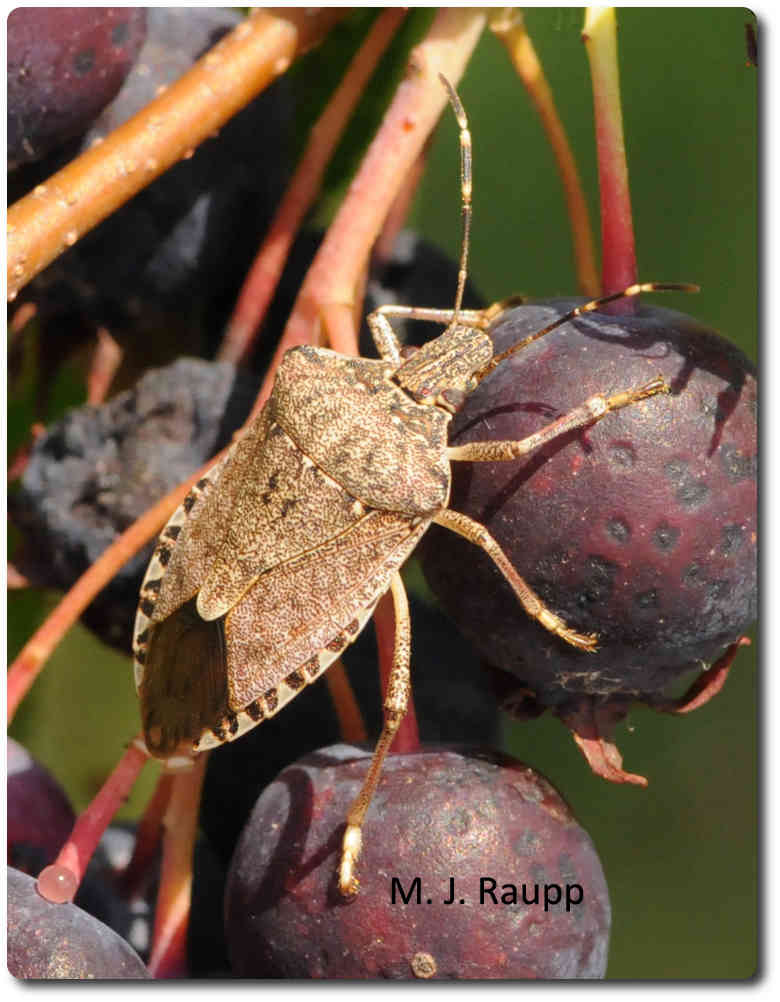 With the return of spring, brown marmorated stink bugs are on the move.