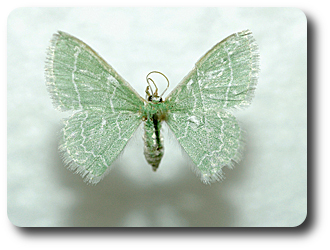 The camouflaged looper turns into a beautiful emerald green moth.