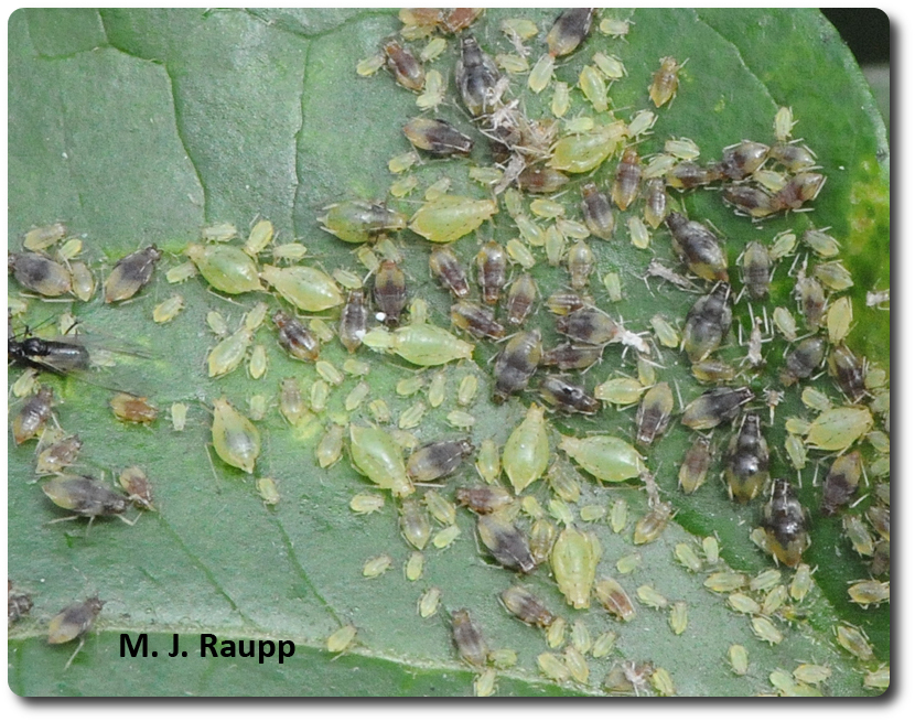 Hundreds of aphids partake in a Thanksgiving feast on the leaves of autumn clematis.