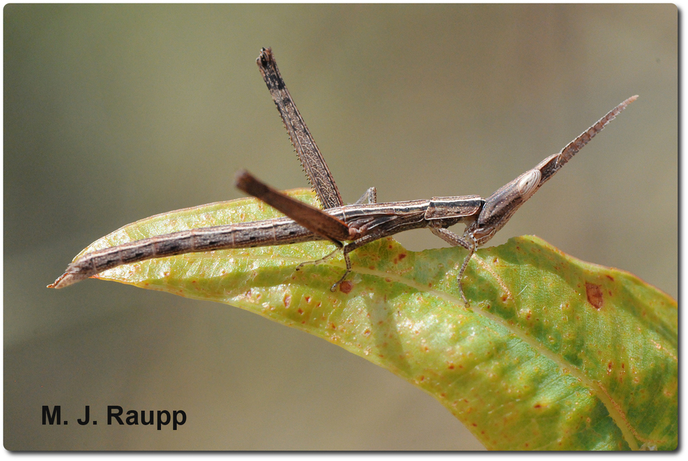 A motionless matchstick grasshopper does its best to pretend it is part of a plant.