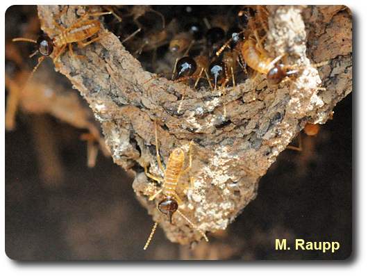 The termite soldier squirts defensive chemicals at enemies through the elongated snout on its head.