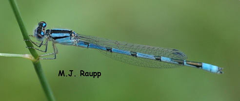 Like a delicate banner in the breeze small damselflies like this bluet often perch horizontally on vegetation.