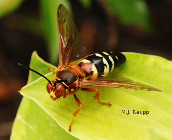 The cicada killer is a large, strikingly marked wasp.