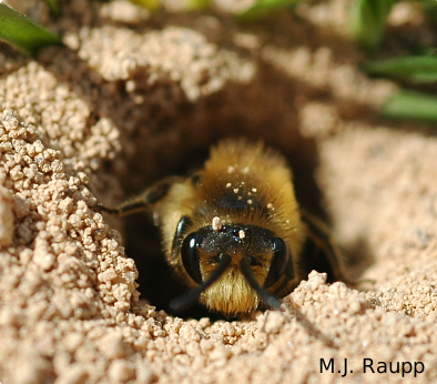 From the safety of its burrow, a plasterer bee takes a peek at a bug geek with a camera.