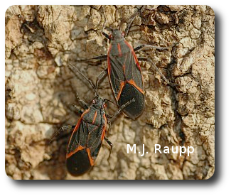 A pair of boxelder bugs will soon leave this tree to find a sheltered spot to spend the winter