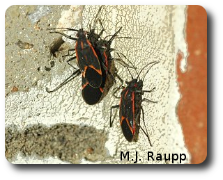 On a warm November day, boxelder bugs plot the best route to enter my home.