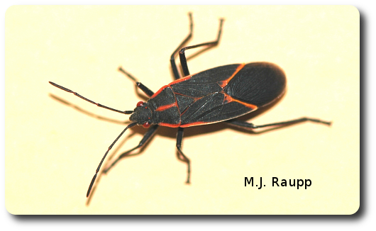 A boxelder bug on wall or window heralds the approaching Holiday season.