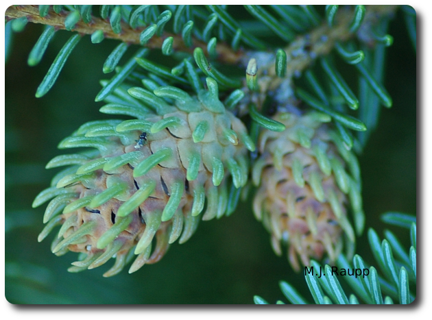"""Cooley spruce gall adelgids enslave the genetic machinery of the spruce tree causing it to form an abnormal, pineapple shaped home for the insect called a gall.                                Normal    0                false    false    false       EN-US    JA    X-NONE                                                                                                                                                                                                                                                                                                                                                                                                                                                                                                                                                  /* Style Definitions */ table.MsoNormalTable {mso-style-name:""""Table Normal""""; mso-tstyle-rowband-size:0; mso-tstyle-colband-size:0; mso-style-noshow:yes; mso-style-priority:99; mso-style-parent:""""""""; mso-padding-alt:0in 5.4pt 0in 5.4pt; mso-para-margin:0in; mso-para-margin-bottom:.0001pt; mso-pagination:widow-orphan; font-size:12.0pt; font-family:Cambria; mso-ascii-font-family:Cambria; mso-ascii-theme-font:minor-latin; mso-hansi-font-family:Cambria; mso-hansi-theme-font:minor-latin;}"""