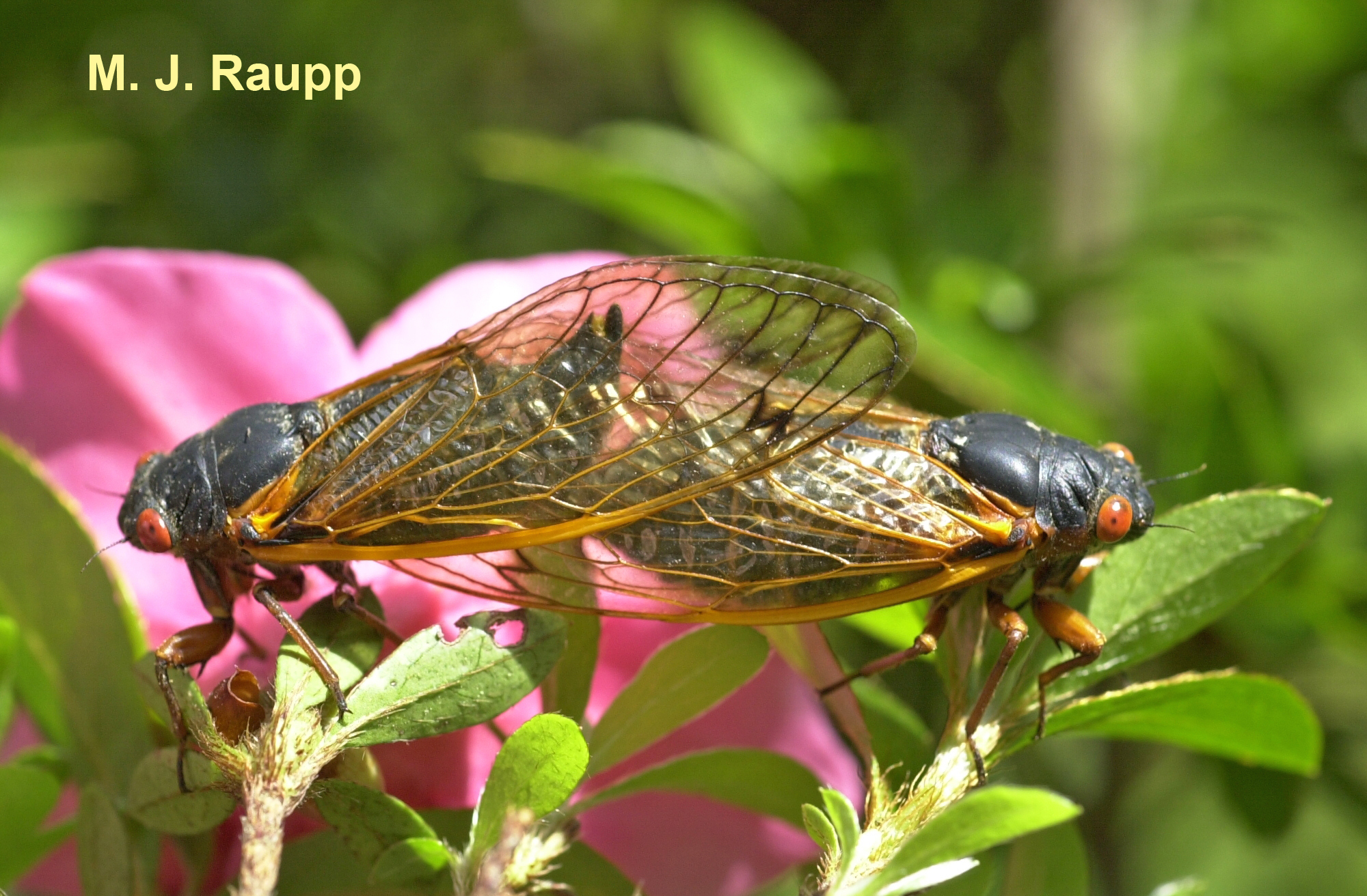 Mating cicadas often stay coupled for an hour or more.