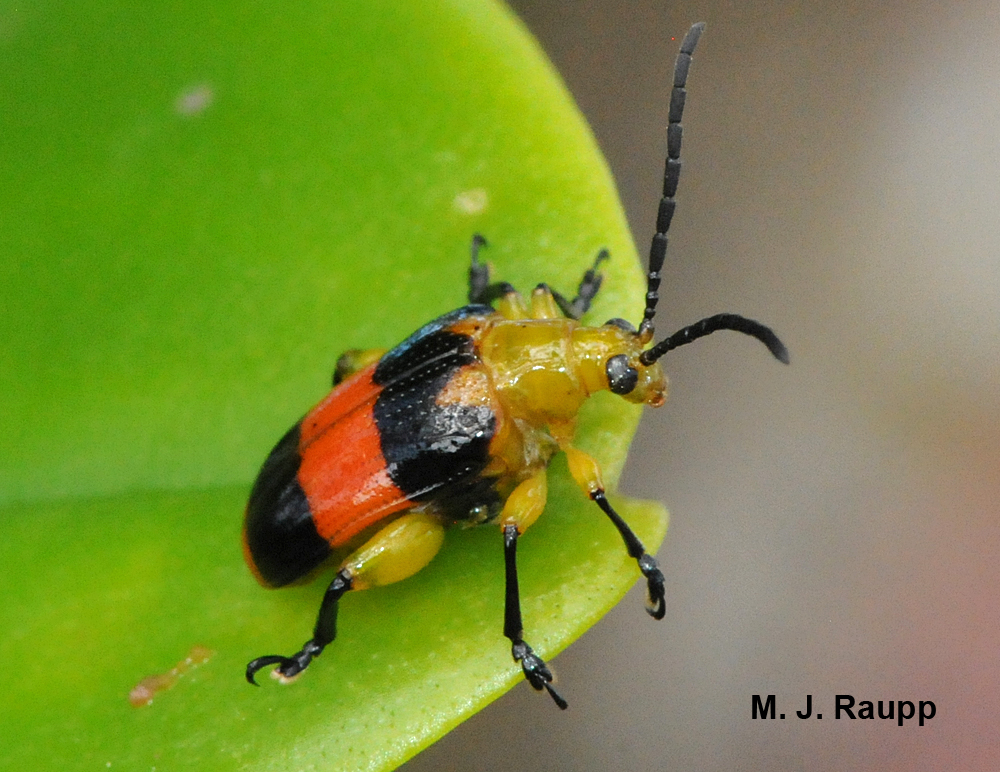Orange and black coloration warn would-be predators that this beetle may be a nasty-meal.