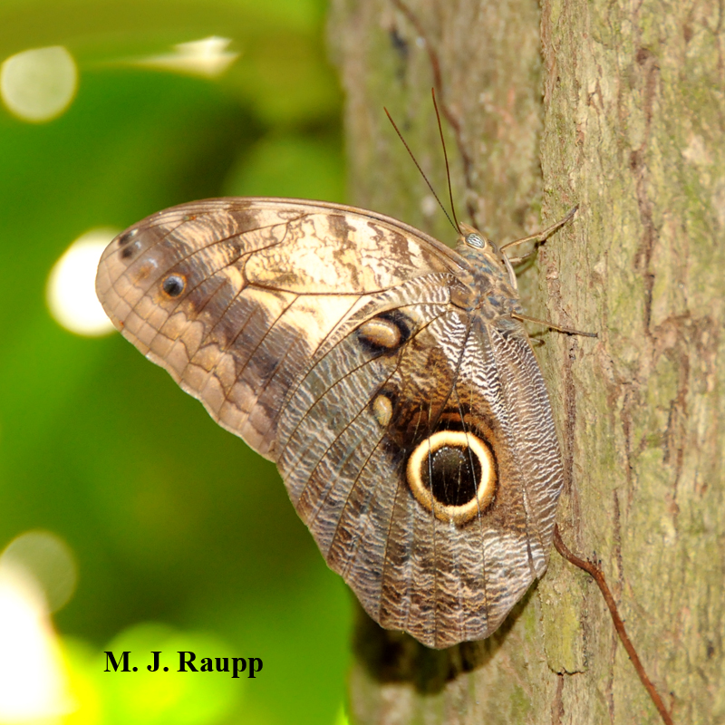 A scary spot adorns the wing of an owl butterfly.